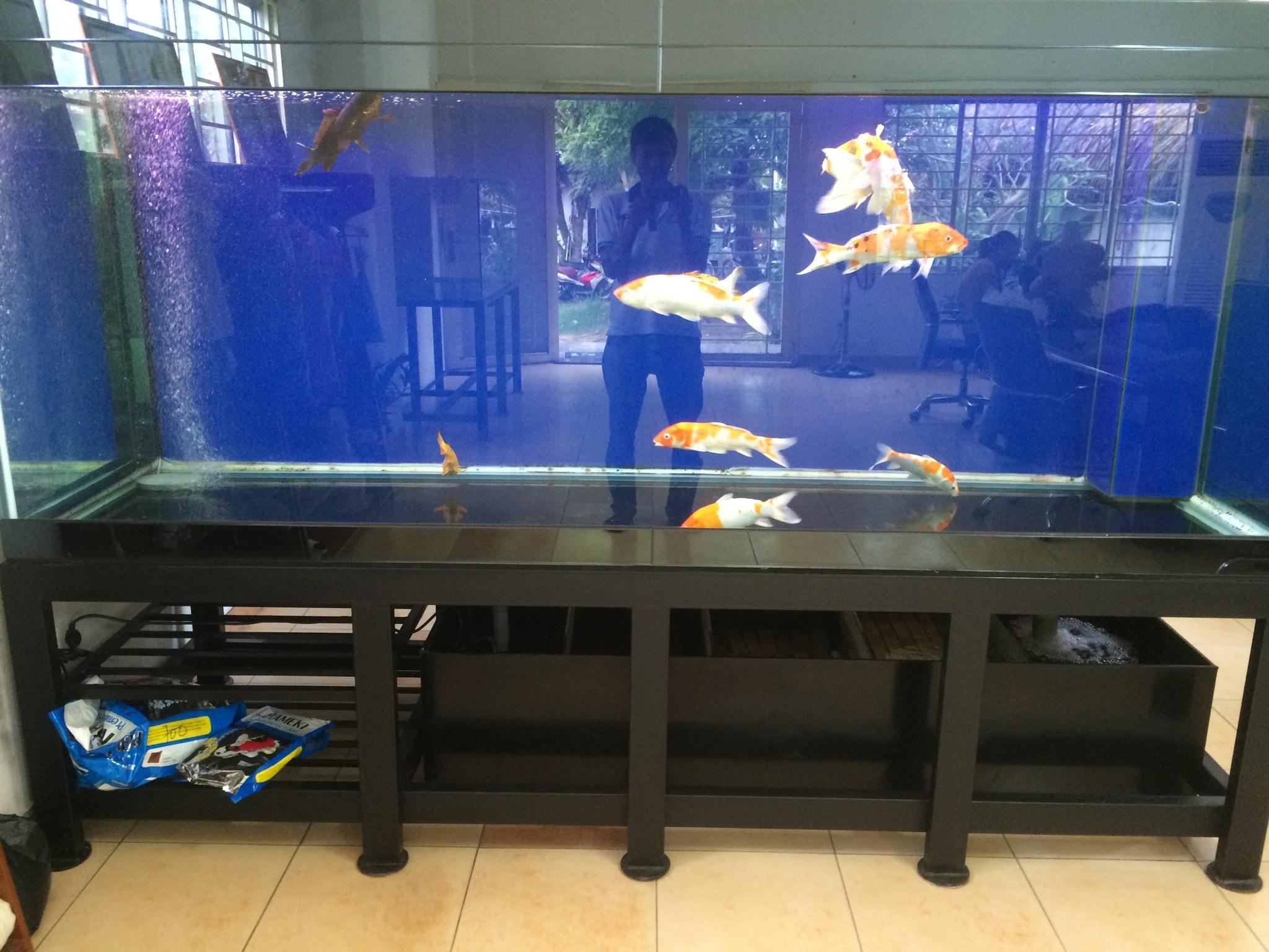 ho-ca-chep-koi-thu-duc-5643 Cần chú ý gì khi tiến hành lọc hồ cá chép Koi