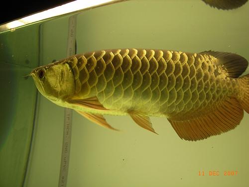 ca-rong-24k-co-giay-khai-sinh-gia-tri-cao-4456 Giá hồ cá rồng có đắt không? Làm sao để tiết kiệm chi phí