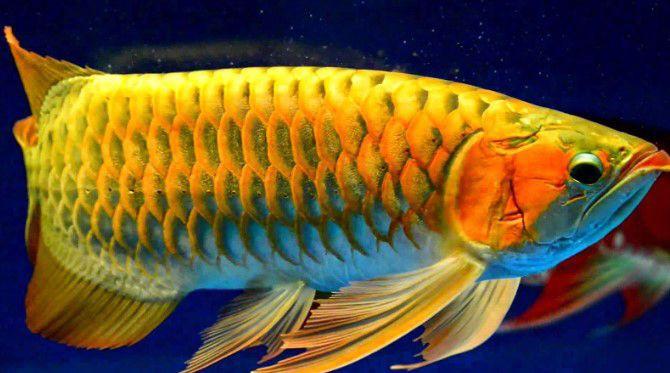 ca-rong-hoang-hai Bật mí tuổi hợp với nuôi cá cảnh phong thủy?