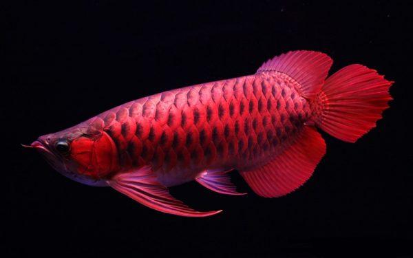 ca-rong-phong-thuy-e1626944203384 Bật mí tuổi hợp với nuôi cá cảnh phong thủy?